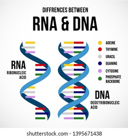 Differences between DNA and RNA. Vector scientific icon spiral of DNA and RNA.  An illustration of the differences in the structure of the DNA and RNA molecules
