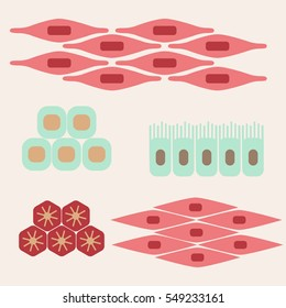 Different human tissue types set. Stock vector illustration of epithelial, muscle, stem, liver cells forming organs. Medicine and biology collection