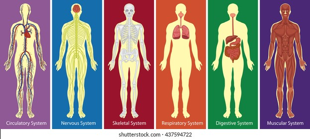 Organ System Images Stock Photos Vectors Shutterstock