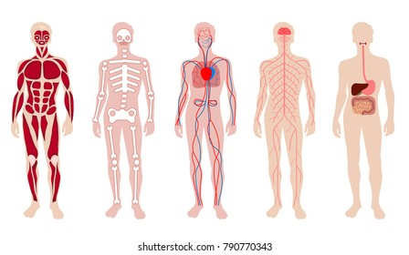 Flat vector man characters blood circulation stock vector royalty different systems of human body diagram illustration ccuart Gallery
