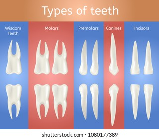 different type of tooth 3d realistic poster wisdom molar premolar canine and incisor teeth