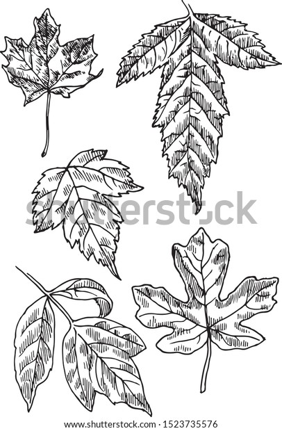 Different Types Maple Illustration Maples Leaves Stock Vector
