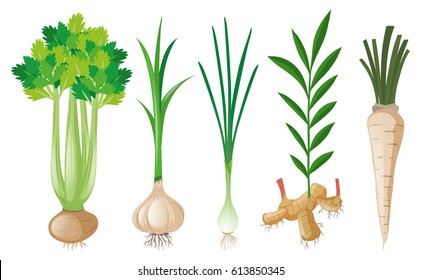Different types of root vegetables