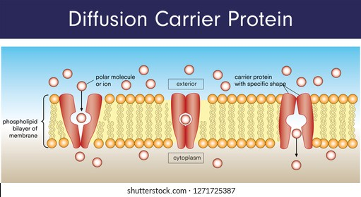 Diffusion carrier protein