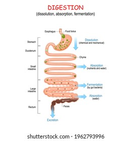 digestion (dissolution, absorption, fermentation). From food bolus or Chyme to Feces. Human digestive system: Esophagus, Stomach, Duodenum, Small and Large intestine, Rectum. Vector illustration