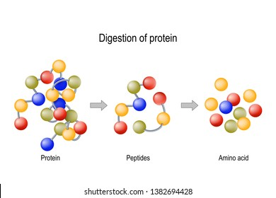 Digestion of Protein. Enzymes (proteases and peptidases) are digestion breaks the protein into smaller peptide chains and into single amino acids, which are absorbed into the blood.