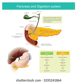 The digestive enzymes travels through the pancreatic duct to mix with food in the duodenum. The liver produce Bile, which is stored in the gall bladder released into the small intestine.