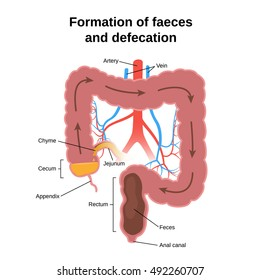 Digestive process, the formation of feces and defecation, the circuit structure of the colon