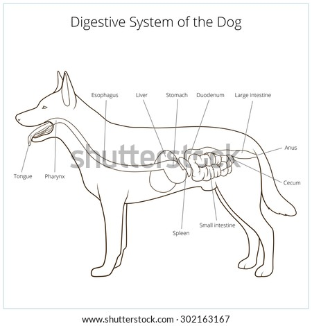 Digestive System Dog Vector Illustration Stock Vector Royalty Free