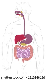Digestive system human gut gastrointestinal tract anatomy diagram