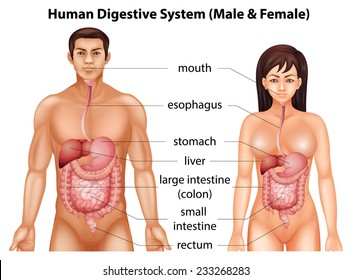Digestive system of humans