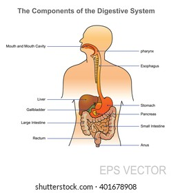Digestive system vector. The human digestive system consists of the gastrointestinal tract plus the accessory organs of digestion (the tongue, salivary glands, pancreas, liver, and gallbladder).