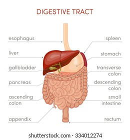 The digestive tract of a human. Cartoon vector illustration for medical atlas or educational textbook.