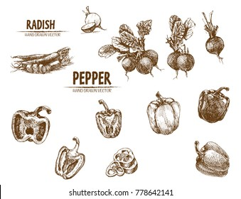 Digital vector detailed line art radish and pepper vegetable hand drawn retro illustration collection set. Thin artistic pencil outline. Vintage ink flat style, engraved simple doodle sketches