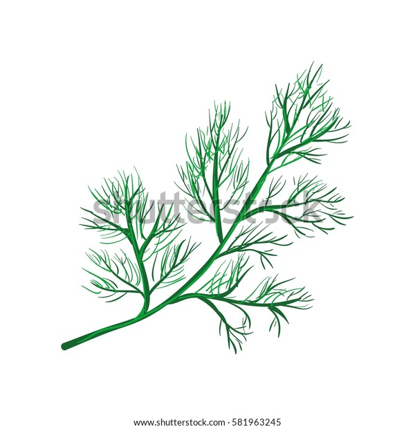 Dill branch isolated on white background. Annual herb in celery family. Herbs and spices series. Fresh green dill realistic vector illustration. Culinary kitchen herb ingredient seasoning