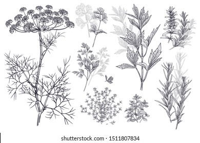 Dill, coriander or cilantro, thyme, parsley, lovage, estragon or tarragon, rosemary. Illustration of garden fragrant herbs. Spice for flavouring food. Isolated black plant on white background. Vector.