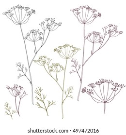 Dill or fennel flowers and leaves. Stylized hand drawn vector illustration. Floral elements in gray, purple and green isolated on white background. EPS 8.