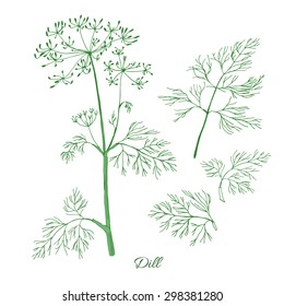 Dill herb with green leaf and flower isolated on white background.  Hand drawn sketch. Vector illustration.