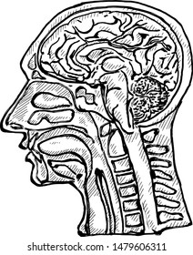A dissected human head showing the brain. Hand drawn vector illustration.