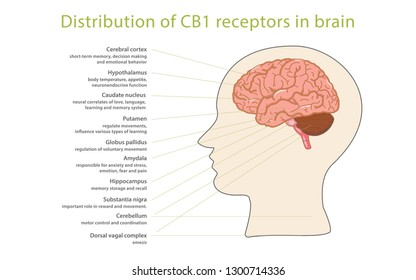 Distribution of CB1 receptors in brain, infographic illustration about cannabis as herbal alternative medicine and chemical therapy, healthcare and medical science vector.