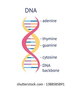 DNA helix molecule spiral educational info graphic vector illustration isolated on white background. DNA strand biological structure nucleotides and bases in colorful icon.