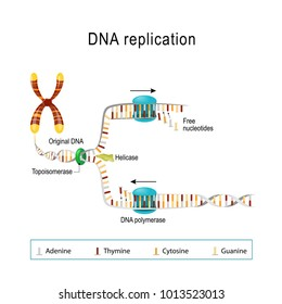 DNA replication. double helix is unwound. Each separated strand acts as a template for replicating a new strand.  Vector diagram for scientific, medical, and educational use