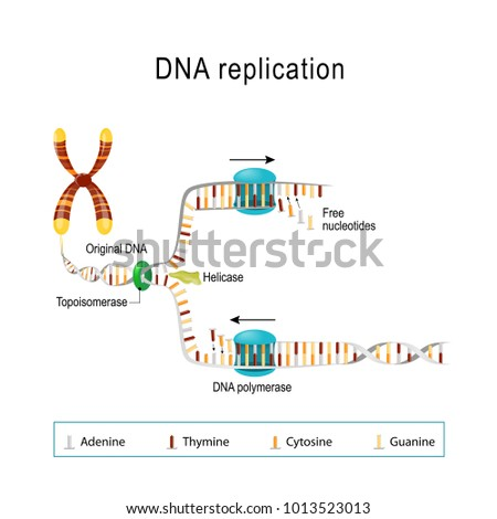 Dna Replication Double Helix Unwound Each Stock Vector Royalty Free