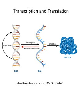 DNA Replication, Protein synthesis, Transcription and translation.  Biological functions of DNA. Genes and genomes. Genetic code