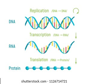 DNA Replication, Transcription and Translation. The Central Dogma of Molecular Biology. Vector illustration