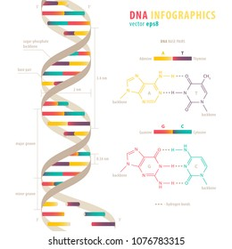 DNA structure, colorful infograhic chart