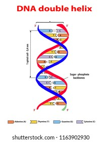 DNA structure double helix colore  on white background. Nucleotide, Phosphate, Sugar, and bases. education vector info graphic. Adenine, Thymine, Guanine, Cytosine.