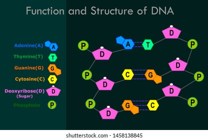 DNA structure, function. Covalent bond dna diagram. Strands of DNA are made of the sugar and phosphate portions of the nucleotides. nitrogenous bases. Simple annotated. Dark background. Vector draw