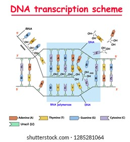 DNA transcription. DNA and RNA structure double helix colore on white background. Nucleotide, Phosphate, Sugar, and bases. education vector info graphic. Adenine, Thymine, Guanine, Cytosine.