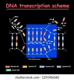 DNA transcription. DNA and RNA structure double helix colore on black background. Nucleotide, Phosphate, Sugar, and bases. education vector info graphic. Adenine, Thymine, Guanine, Cytosine.