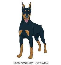 Doberman dog standing isolated on white background. Hand drawn purebred canine panting. Dobermann standing and panting with tongue out. Watchdog for your design.