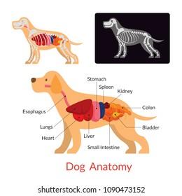Dog Anatomy, Internal Organs, Skeleton, X-Ray