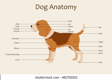 Dog anatomy veterinary illustration. Body parts names. Study guide. Vector. Horizontal orientation