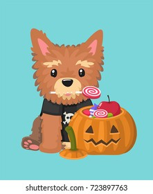 A dog breed Yorkshire Terrier holds a candy in his mouth. Before the puppy there is a Halloween pumpkin filled with sweets.