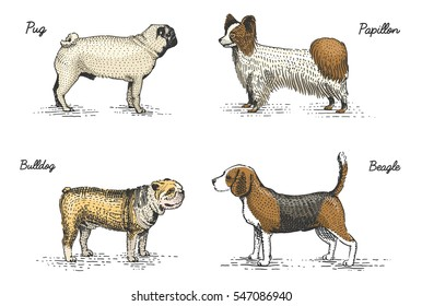 dog breeds engraved, hand drawn vector illustration in woodcut scratchboard style, vintage drawing species. pug papillon. bulldog and beagle