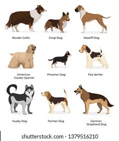Dog breeds vector collection isolated on white background. Corgi. American cocker spaniel. Border Collie. Husky. Pinscher. Fox terrier. Poiner. German Shepherd dog.