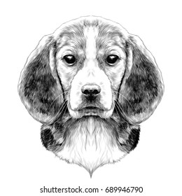 dog head breed Beagle sketch vector graphics black and white drawing