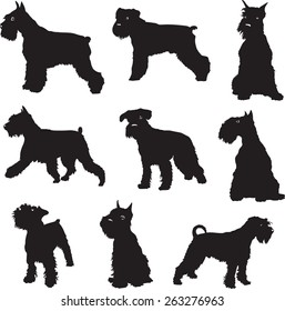 The dog, a miniature Schnauzer, black silhouette