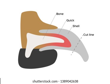 dog nail structure anatomy / vector