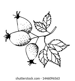Dog rose berries vector illustration. Engraved organic food hand drawn sketch engraving illustration. Black white apple isolated on white background