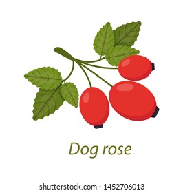 Dog rose plant with leaves, berries white isolated. Rosehip use in herbal tea, cosmetics, store, beauty salon, natural organic health care products vector illustration