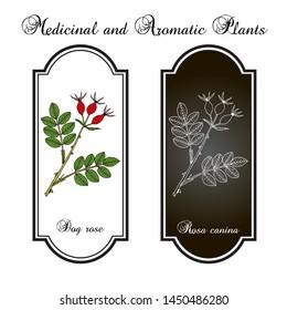Dog rose (Rosa canina), medicinal plant. Hand drawn botanical vector illustration
