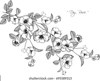 Dog roses flowers drawing illustration on white background.
