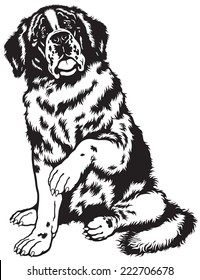 dog saint bernard breed, sitting pose, black and white front view image