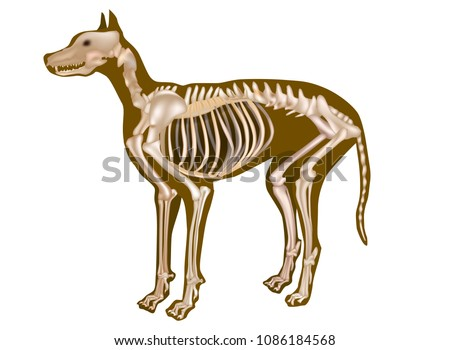 Dog Skeletal Anatomy Poster Canine Anatomy Stock Vector Royalty