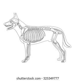 Dog skeleton veterinary vector illustration, dog osteology, bones